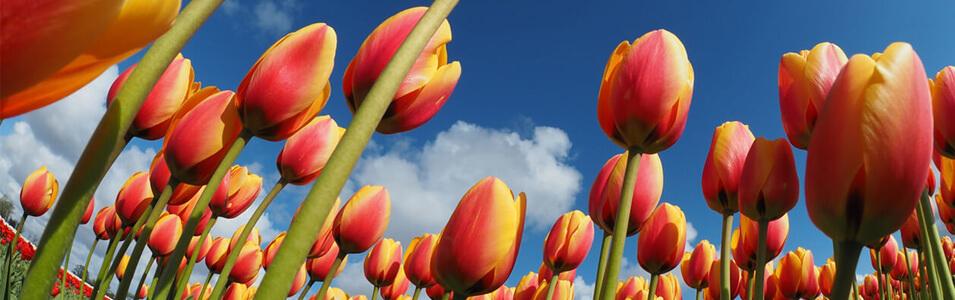 Zo maak je de mooiste tulpenfoto's