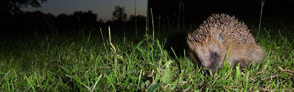 Nachtelijke wildfotografie met cameravallen
