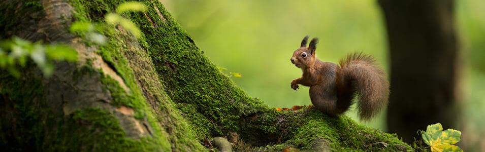 Zo fotografeer je rode eekhoorns!