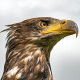Workshop Roofvogelfotografie - 17 april 2020